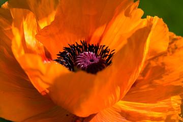 Große Orange - Mohnblume
