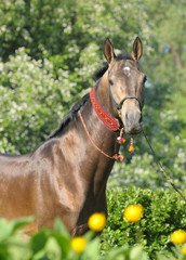 Portrait of akhal-teke stallion