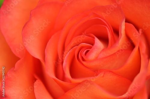 Fototapeta Rose detail