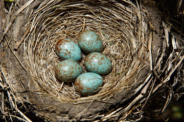 Nest of Fieldfare, Turdus pilaris