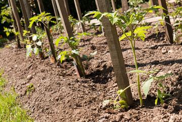 plantation de tomate