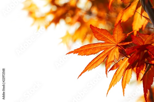 Beautiful autumn maple leaves