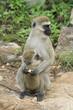 vervet monkey with baby sucking on a nipple