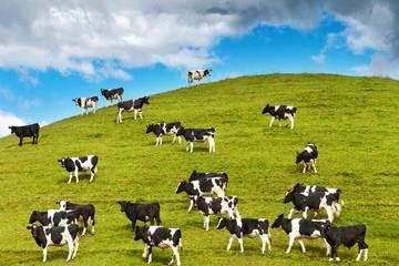 Grazing calves