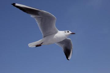 快晴の空に白いカモメが1羽飛ぶ