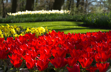 Flaming red tulips in spring