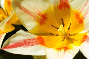 Beautiful tulip in spring sunshine