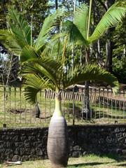 Palmier bouteille Entre Deux