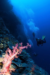 pink soft coral and scuba divers in background