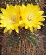 cactus....