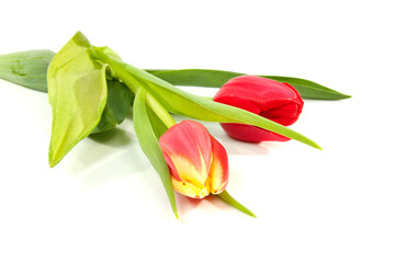 red tulips in closeup over white background