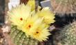 cactus...floraison