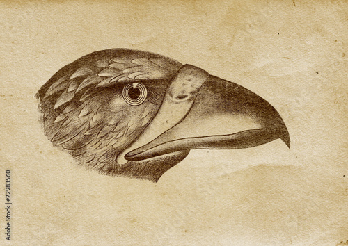 Eagle's Head Illustration (from late 1800)