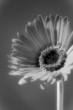 Monochrome Gerber Daisy