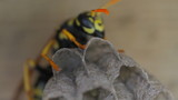 Yellow Jacket Wasp tends to eggs in nest