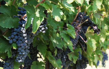 Grapevines with bunches of ripe grapes in Chianti