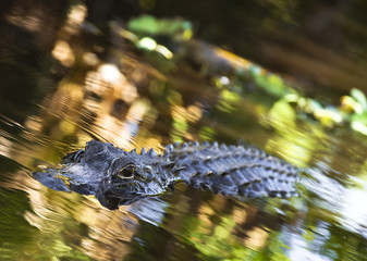 American Alligator Everglades National Park