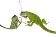 Iguana iguana and mirror