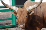 longhorn cattle in enclosure poster