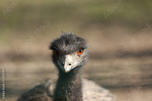 Close-up of a Emu's Head
