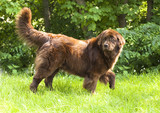 Newfoundland dog breed in an outdoor poster