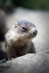 baby marmot close-up