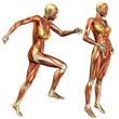 weibliche Muskelstudie
