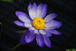 Nymphae violacea - waterlily