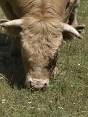 Toro pastando en la provincia de Madrid