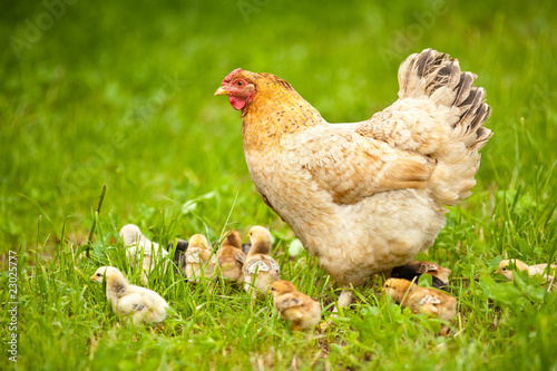 Foto op Canvas Kip Chicken with babies