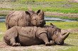 Two playing rhinos