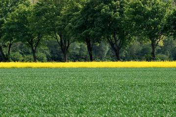 Baumreihe hinter einem Feld