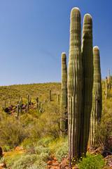 Saguaro Cactus on the Arizona Desert