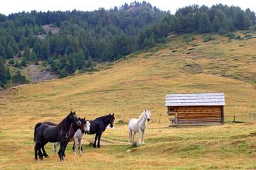 Half wild horses
