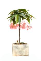 begonia tamaya