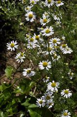 camomilla fiore capolini matricaria recutita