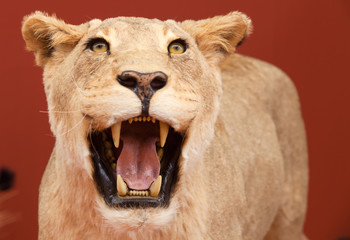 Aggressive expression of stuffed lion with red background
