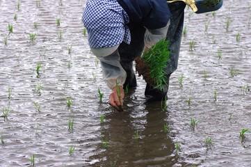 稲の苗の植え付け