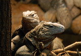 portrait of couple of  iguanas