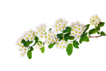 spring branch with many white flowers