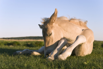 beautiful newborn foal sleeping on the grass