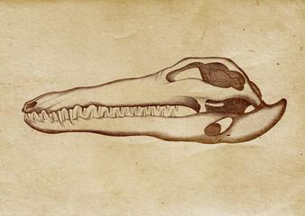 Crocodile's Skull Illustration (from late 1800)
