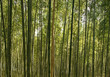 A beautiful bamboo grove in Kyoto, Japan
