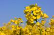 Leinwanddruck Bild - Rapsblüten in Rapsfeld, Canola flowers