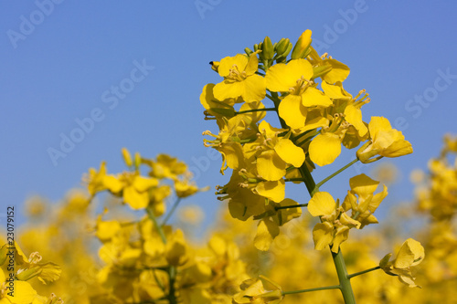 Leinwanddruck Bild Rapsblüten in Rapsfeld, Canola flowers
