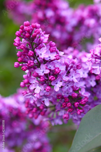Fotobehang Lilac flieder