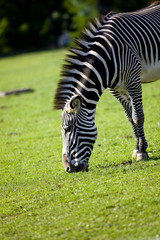Zebra feed on grass