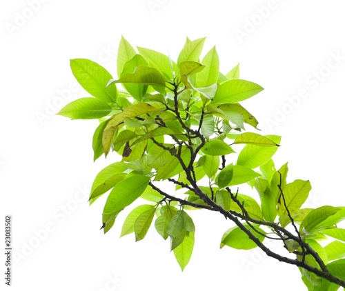 liscie-drzewa-mango