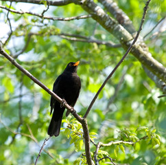 Common Blackbird singing