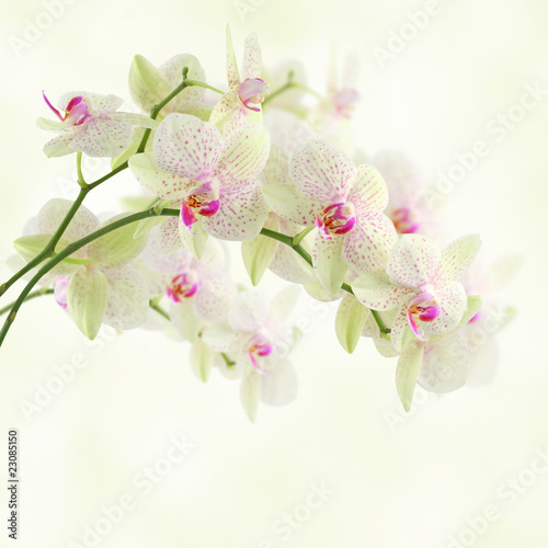 biala-orchidea-na-lekkim-tle
